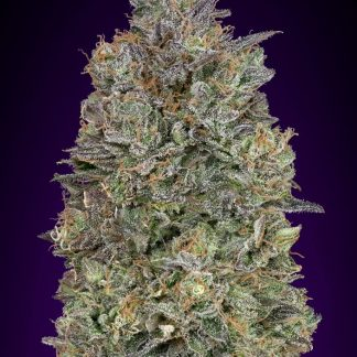 Critical_Purple_Kush advanced seeds